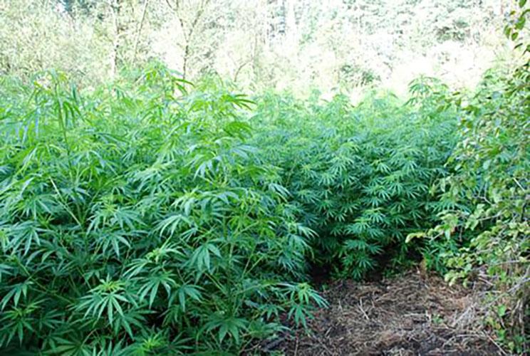 Policja zlikwidowała olbrzymią plantację marihuany