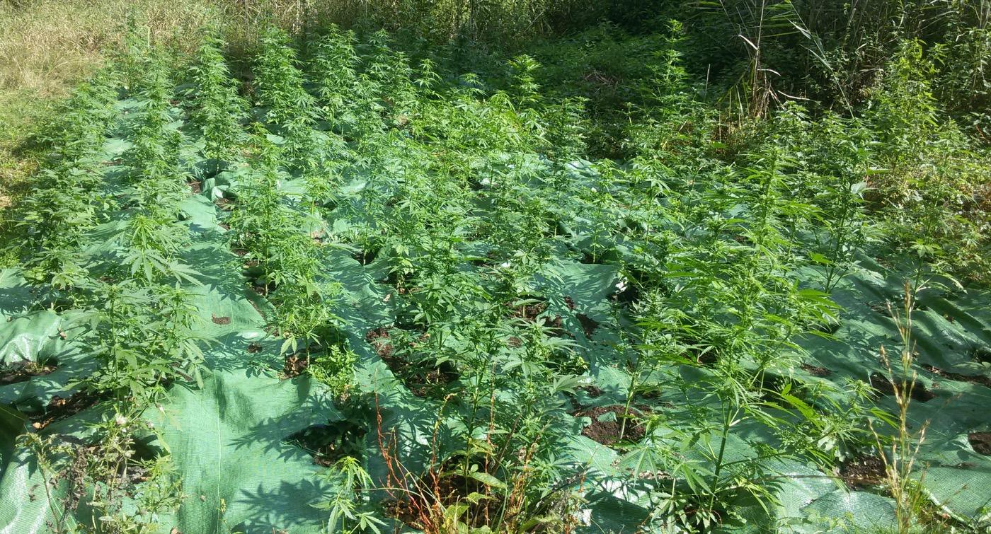 plantacja-marihuany