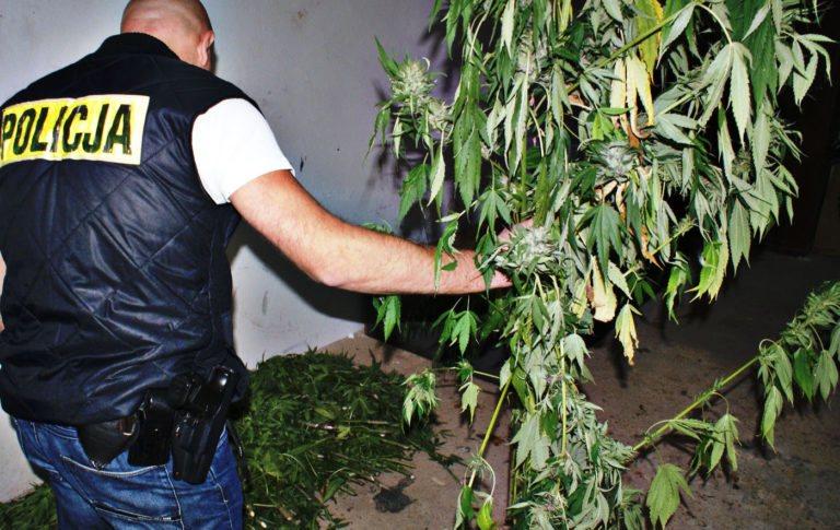 Policja zlikwidowała dużą plantację marihuany