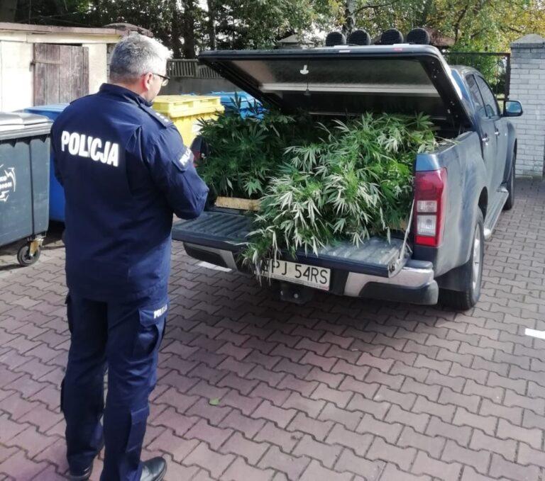 Policjanci z Pajęczna zlikwidowali plantację marihuany